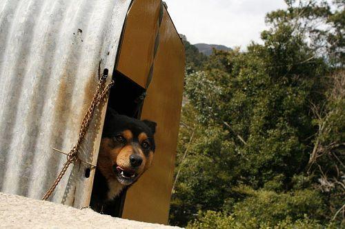 番犬どころか、人におびえて小屋に戻ってしまったワンコ。