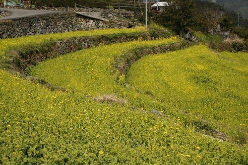 数時間ごとに伸びてゆく菜の花の生命力を感じられた今年の菜の花ウォーク。