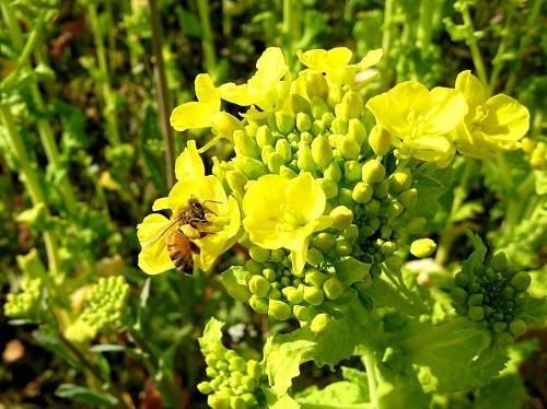 ミツバチはブンブンと羽音を立てて忙しそう。神山人以上にせっかち・・・。