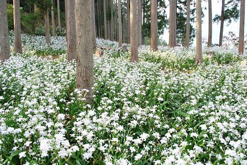 上分花の隠里にあるシャガ園