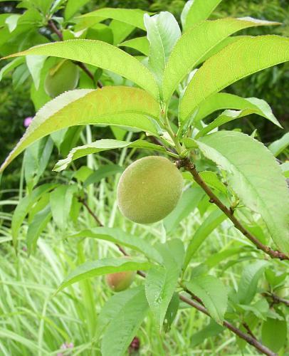 これはうちの山ですが、去年植えた桃の木が実をつけました。楽しみ!