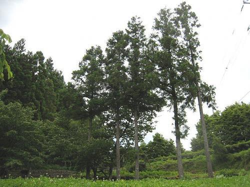 道路と畑の間の杉の木。桜の生長を妨げ、周囲を暗くしているので伐採します。