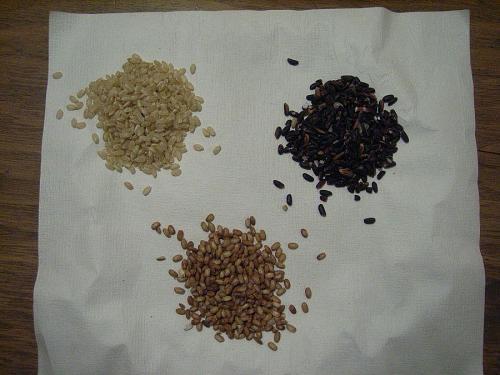 写真がイマイチですが、これが今回植えた、玄米&赤米&黒米