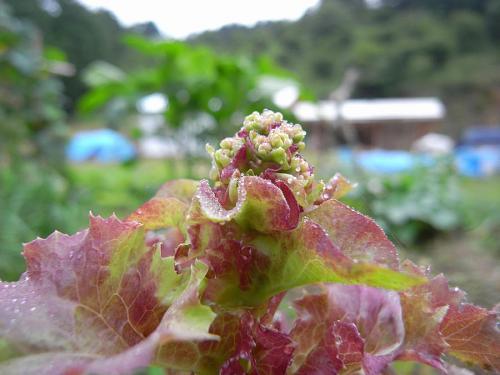 長らくお世話になったサニーレタスも花が咲き始めた 種をいただこうかな