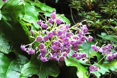 日干し乾燥したイワタバコの葉は、食べすぎ、飲みすぎ、胃もたれ、食欲不振、消化促進に有効。