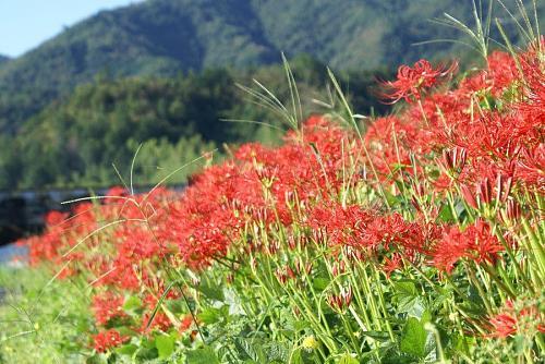 日本では花壇には植えない。不吉な花として知られている