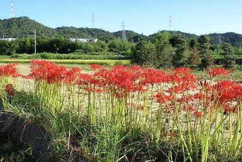 この花が刈り取った田の畦に咲いているのは実に豪華で美しい