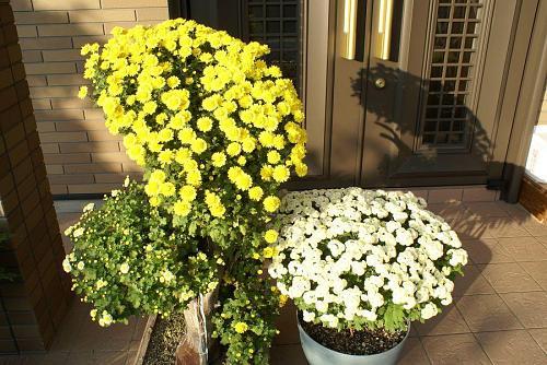 毎年玄関を飾る菊の花