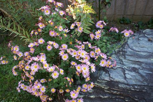 庭に自然に育った菊