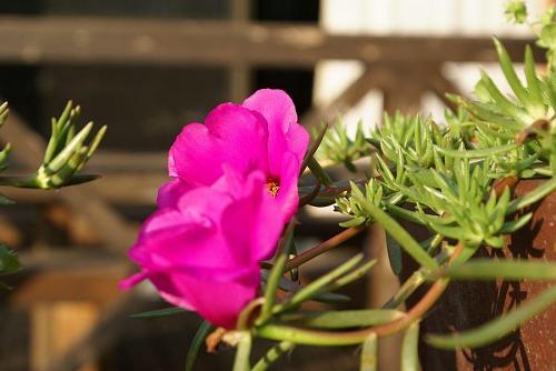 マツバボタンのような花