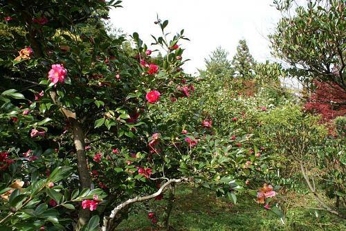 山茶花の林