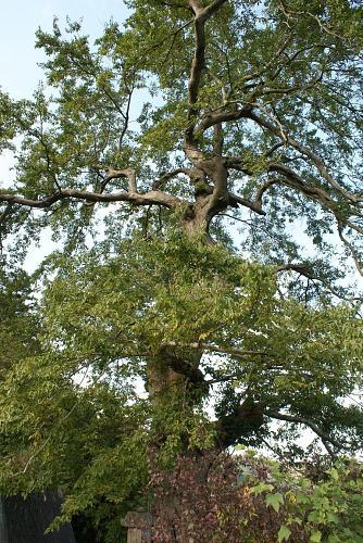 見事な椋(むく)の木