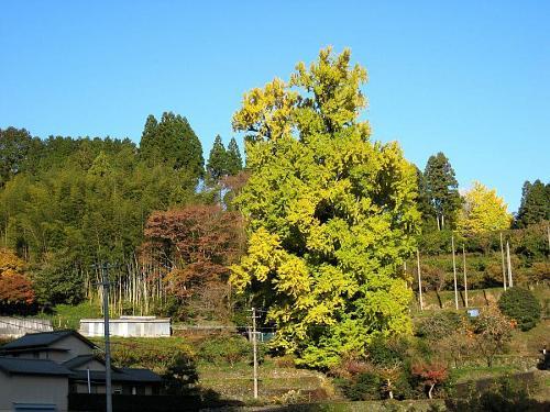 温暖化の所為・・・(?)黄葉が少し遅れ気味です。しばらく冷え込みも無さそうで、今週末が最適のようです。(2008年11月25日08:53撮影)