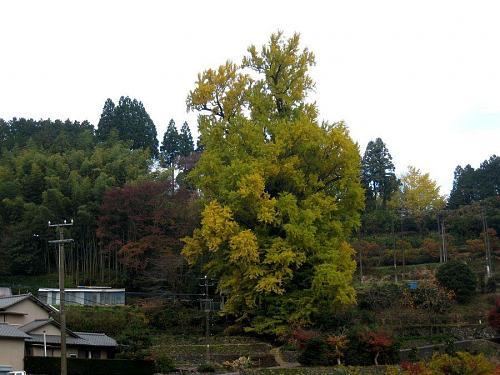 今朝の最低気温は5度。曇っています。しばらくの間、冷え込みは無さそうですね。見ごろが12月初旬になりそうな気配・・・。(2008年11月27日08:52撮影)