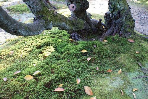 紅葉もいいのですがその根元の苔が好きなんです。