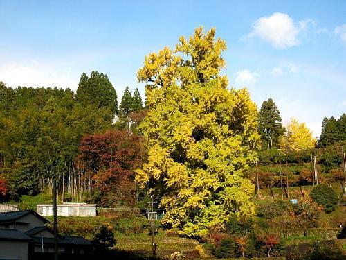 最低気温は8度。少雨→天気雨→晴れ。空気が澄み切って、気持のいい朝です。いち早く黄葉の進んだ先端部からは、ちらりちらりと葉が舞い落ち始めています。来週火曜日の天気予報が雨。早めの見学がオススメです。(2008年11月28日08:41撮影)