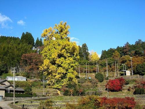最低気温7度。晴天。黄葉見物日和です。多少黄緑も残っていますが、風雨の具合で散ってしまう場合もあります。したがって、今日、明日、明後日が見ごろ!(2008年11月29日09:24撮影)