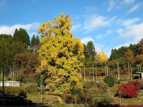 最低気温3度。黄葉を散らす雨も降らず、極端な冷え込みも無さそうで、今週いっぱい楽しめそうです。(2008年12月1日08:54撮影)