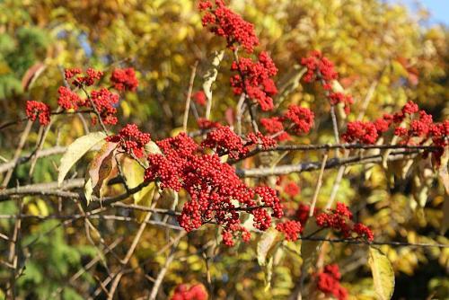 実に鮮やかな真っ赤な木の実です。