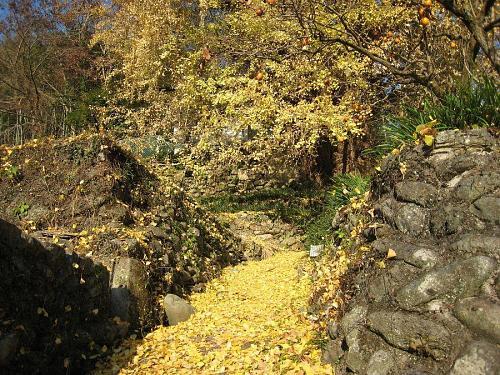 だんだんと黄色い絨毯が厚みを増していきます。気の所為でしょうか、残っている葉っぱも元気なく、貧相に見えてました・・・。(2008年12月4日08:54撮影)