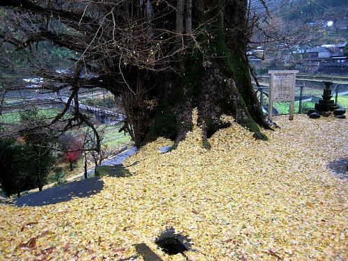 虎は死して皮を残しますが、この大イチョウが残すのは黄色い大絨毯。天気回りだとふんわりと30㎝くらい積もります。子どものころ、ここで相撲を取ったものです・・・。(2008年12月5日08:51撮影)
