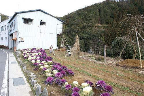 まず目に付くのは葉牡丹の畑。白い建物は松浦工業さんの倉庫
