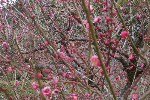 早咲きの紅梅も彼女を歓迎です。