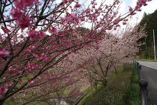 神山街道で一番早咲きのさくらです。