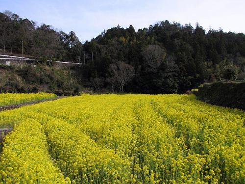 川向にあるこの田んぼ。肥料の具合かなんかで、特に見事!あたり一面、春の香りが満ち満ちています。
