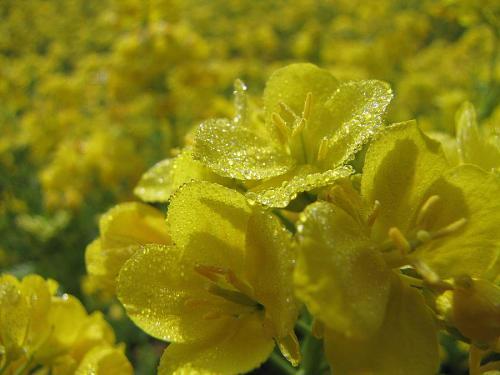 春の柔らかな日差しを受けて、きらり輝く朝露と黄色い菜の花。Nothing but 至福!