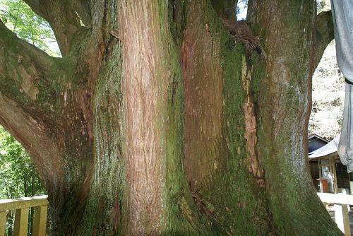神秘あふれる巨樹です。