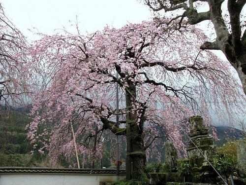 「西のしだれ」・・・5~6分咲き。(2009年3月20日10:12撮影)