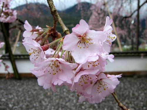 「西のしだれ」(2009年3月20日10:05撮影)
