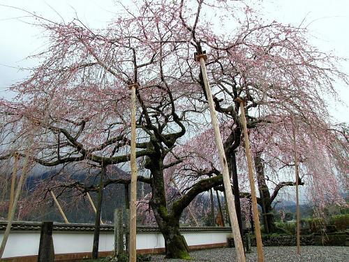 「東のしだれ」・・・2~3分咲き。(2009年3月20日10:18撮影)