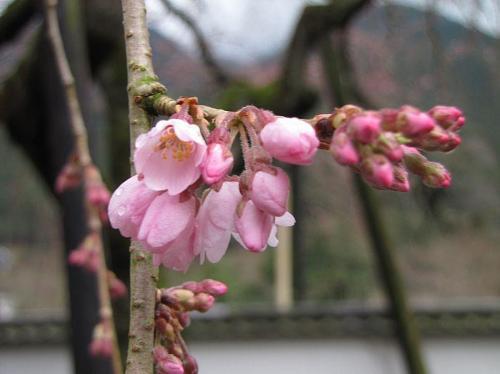 「東のしだれ」(2009年3月20日10:18撮影)