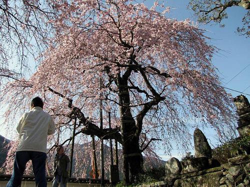 「西のしだれ」・・・7~8分咲き。(2009年3月21日09:21撮影)