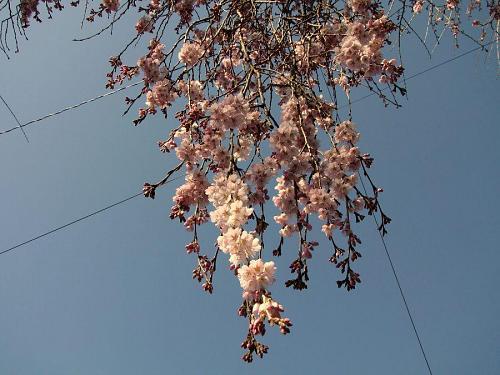 「西のしだれ」(2009年3月21日09:18撮影)