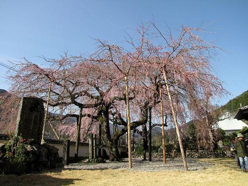 「東のしだれ」・・・2~3分咲き。(2009年3月21日09:24撮影)