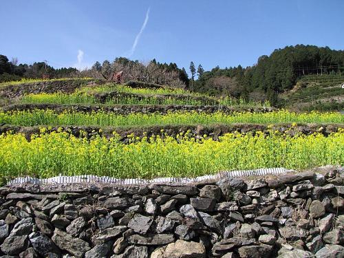 棚田の石積みと菜の花 (2009年3月21日10:03撮影)