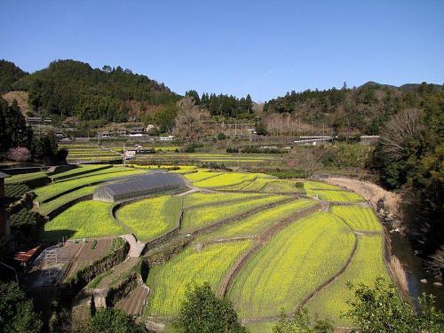 集落東側から見た菜の花畑 (2009年3月21日09:06撮影)