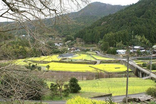 早渕君が紹介していた大久保の菜の花畑。