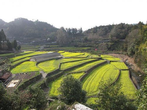 集落東側から見た菜の花畑 (2009年3月23日16:14撮影)