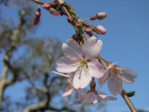「東のしだれ」6~7分咲き。 2009年3月24日08:25撮影