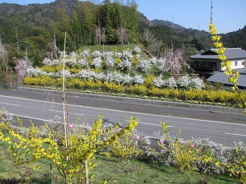 スイセン、レンギョウ、ユキヤナギが、しだれ桜と乱舞!(鬼籠野字西分) 2009年3月24日09:14撮影