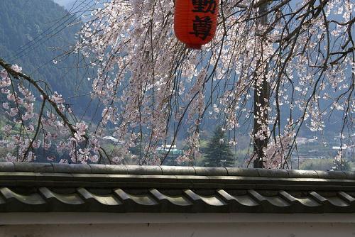 明王寺のしだれ桜