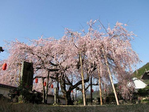「東のしだれ」 2009年3月24日08:24撮影