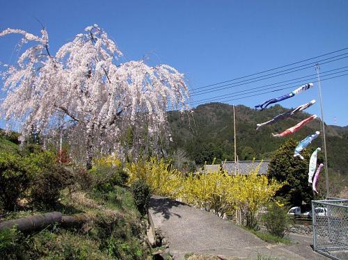 鬼籠野・神山さくら道(2009年3月30日11:15撮影)