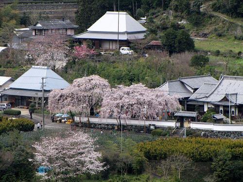 「明王寺しだれ桜遠景」2009年3月28日14:33撮影