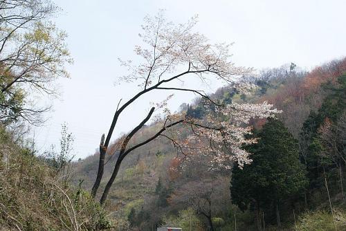 新童学寺のトンネルを抜けたところの山桜