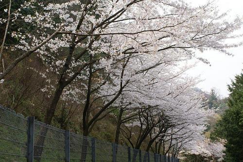 神山森林公園に向かう道筋の桜並木